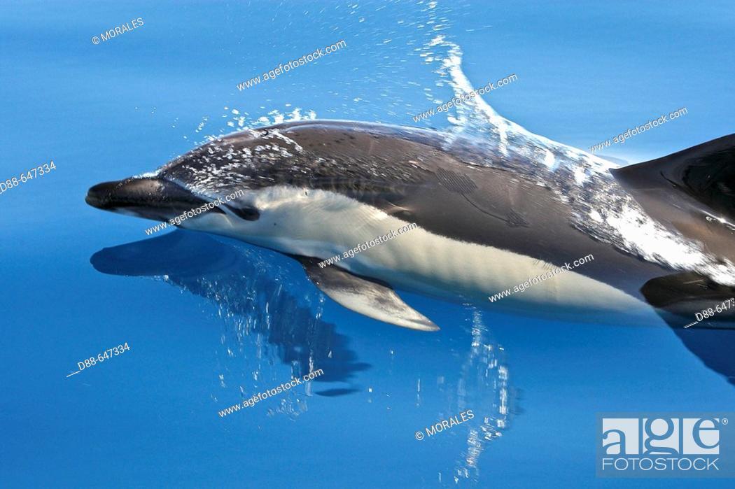 Stock Photo: Common Dolphin in the strait of Gibraltar. Delphinus delphis.