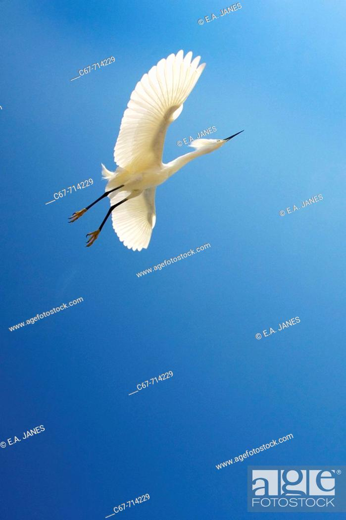 Stock Photo: Snowy Egret Egretta thula.