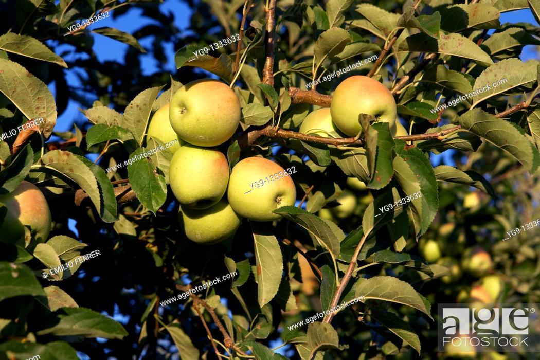 Stock Photo: Apple Golden on a tree  LLeida  Spain.