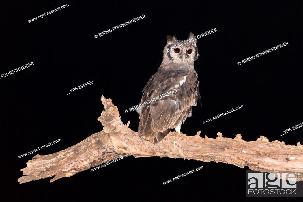 verreaux s eagle owl bubo lacteus perched on branch at night