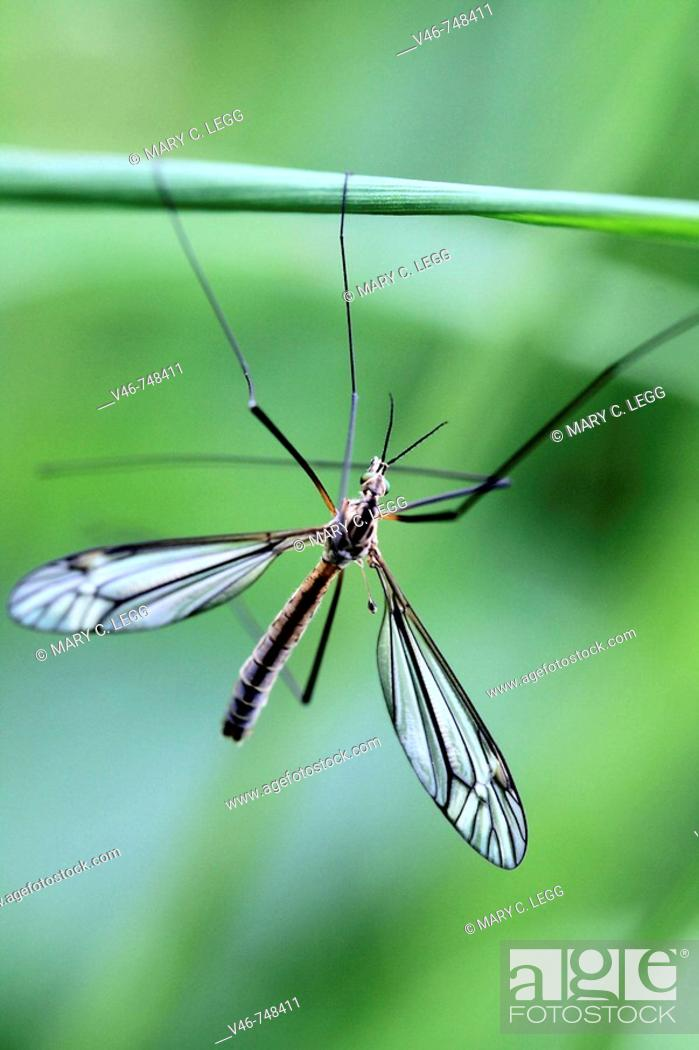 Stock Photo: European cranefly  Tipula paludosa hangs on a blade of grass Prague Czech Republic.  Lacework on wings clearly visible. Cranefly hangs against an emerald green.