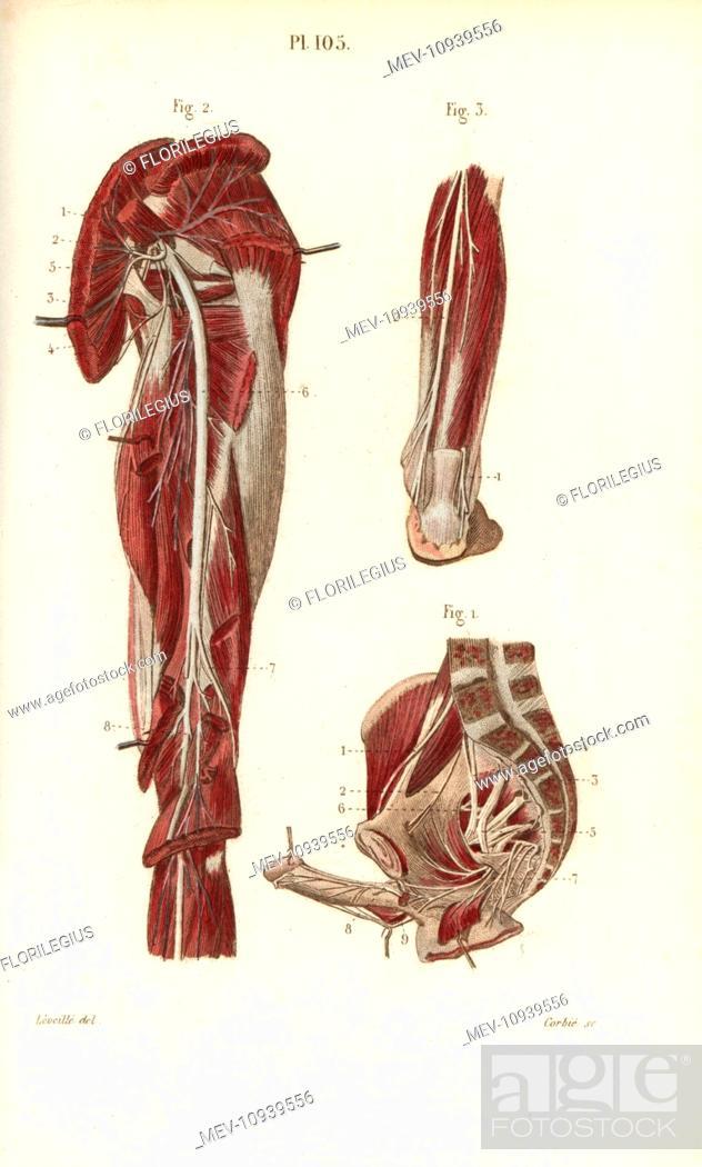 Sciatic Nerve And The Sacral Plexus Handcolored Steel Engraving