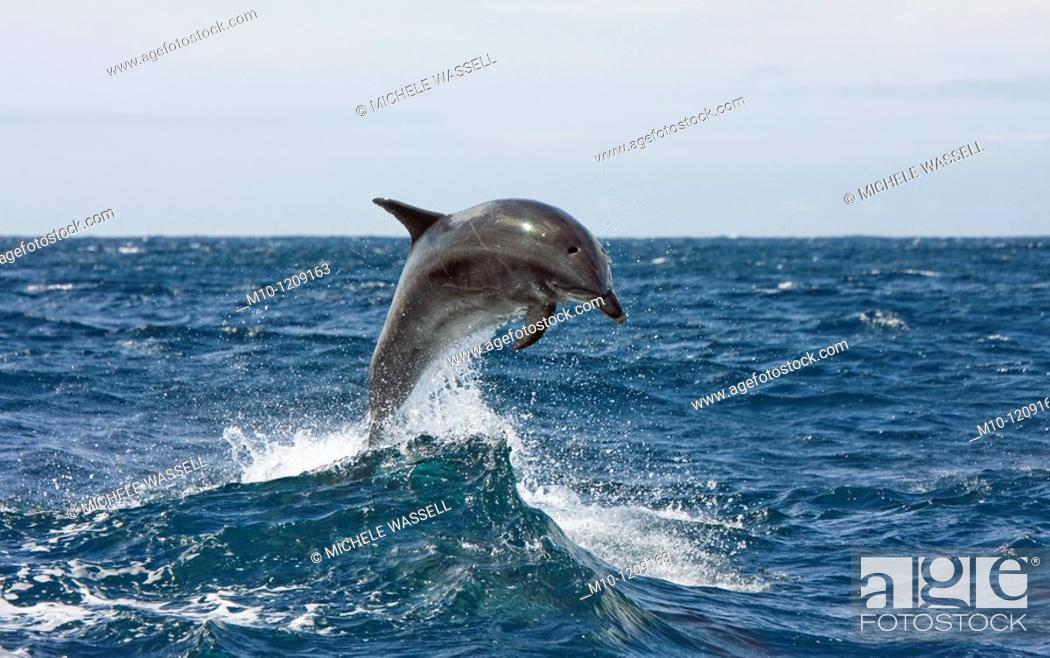 Stock Photo: Off-shore Bottlenose dolphin leaping out of the water.