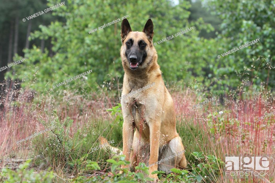 Stock Photo: Dog Belgian shepherd Malinois.