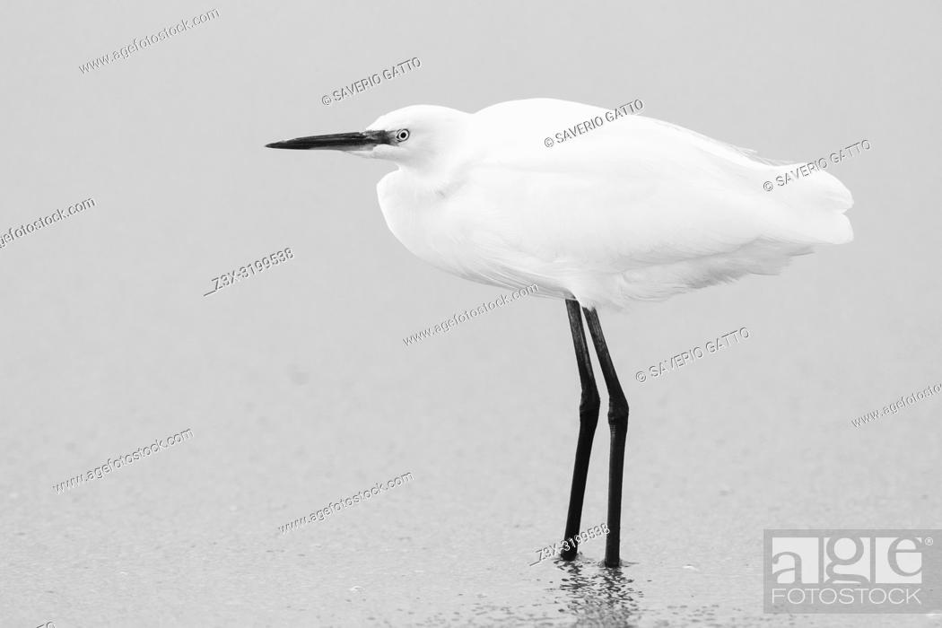 Stock Photo: Little Egret (Egretta garzetta), side view of an individual standing on the shore.