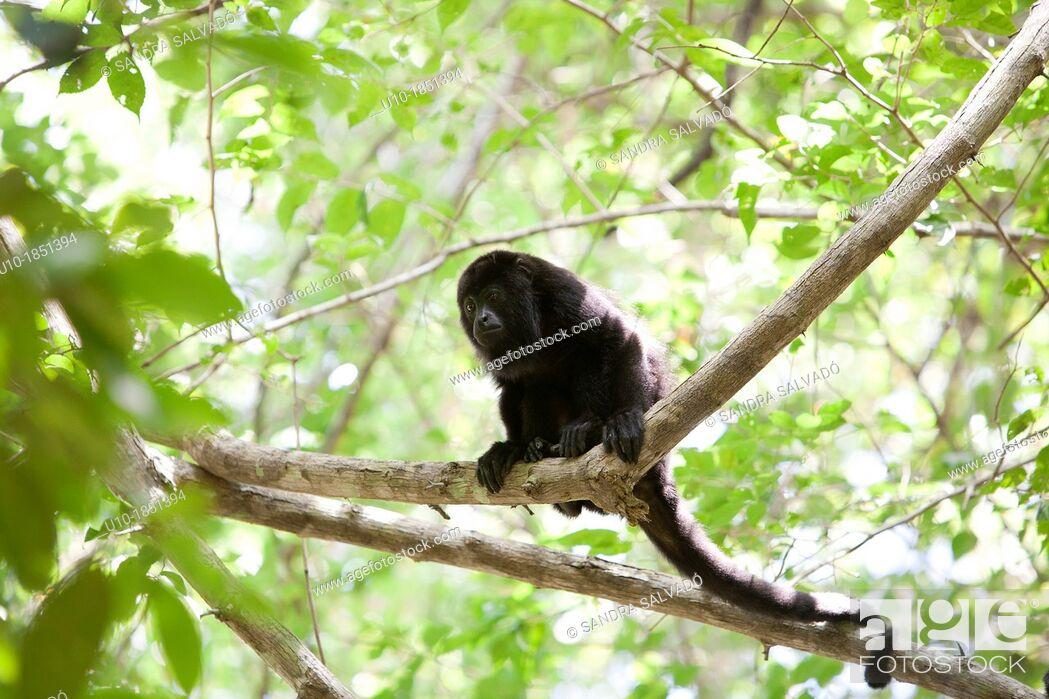 Stock Photo: Black Howler Monkey Alouatta caraya, Reserve Biosphere Calakmul, Mexico.