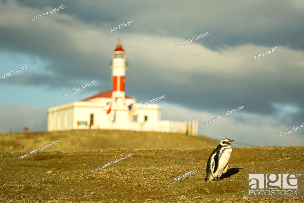 Stock Photo: Chile, Patagonia, Magdalena island, Strait of Magellan, colony of Magellanic penguins (Spheniscus magellanicus).