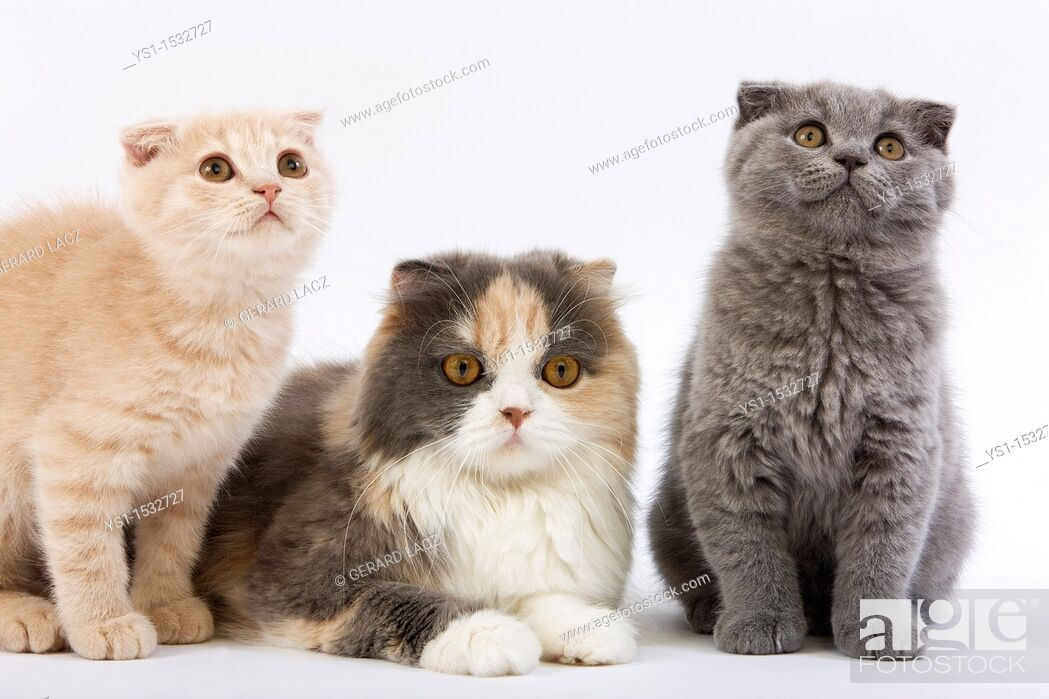 Stock Photo: Blue Cream and White Highland Fold Female with 2 Months Old Kittens, Cream Scottish Fold and Blue Scottish Fold.