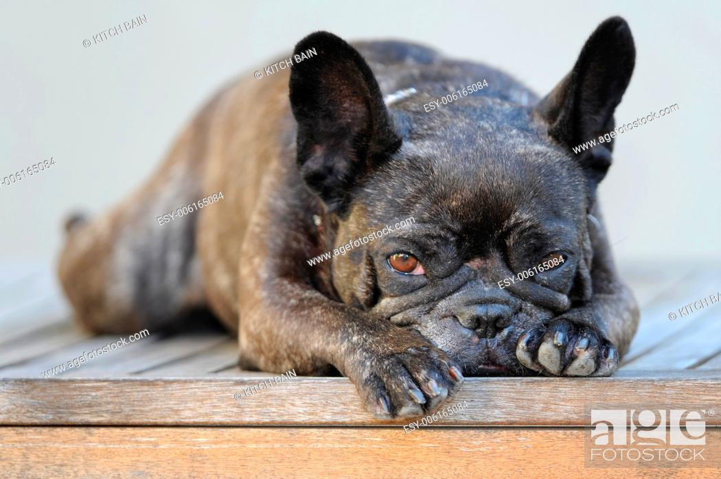 Stock Photo: A close up shot of a french bulldog.