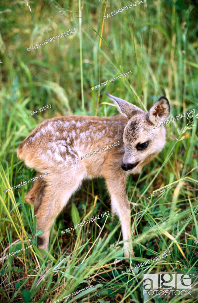 Stock Photo: Roe Deer (Capreolus capreolus) young. Cantabria, Spain.
