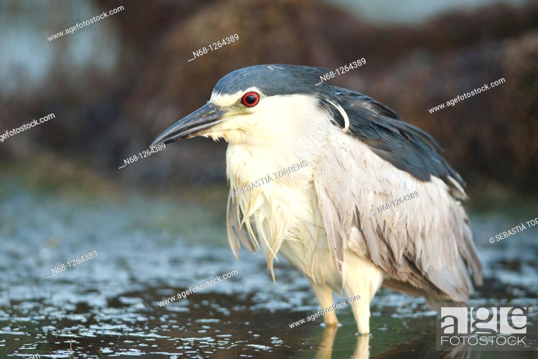 Stock Photo: Night Heron Nycticorax nycticorax on the water, Alcudia, Majorca, Spain.