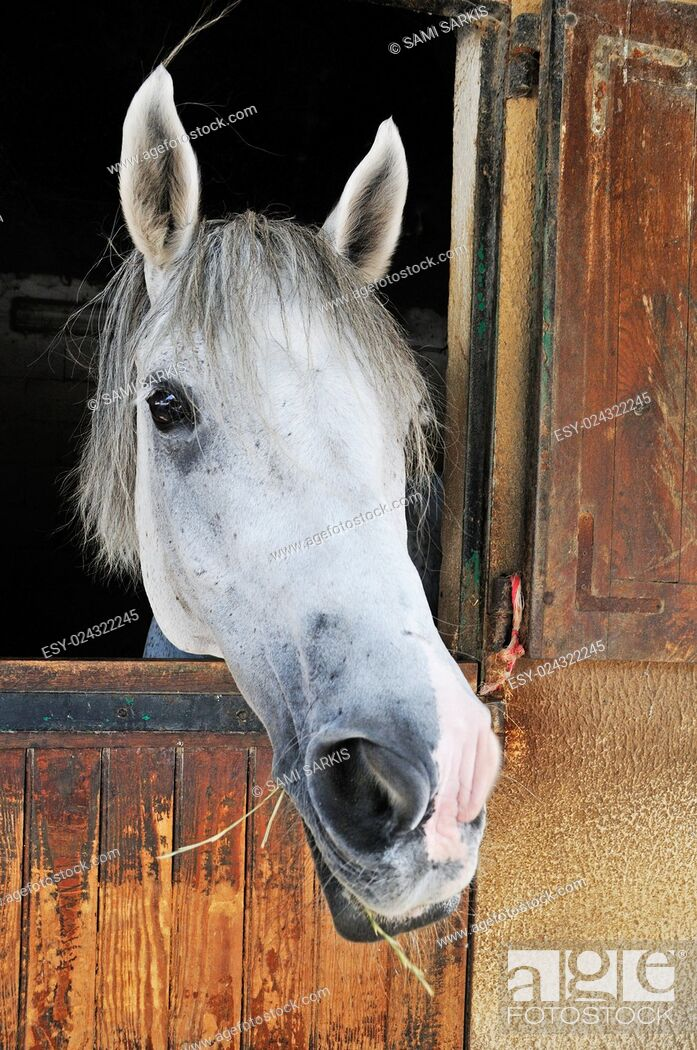 Imagen: Camargue horse looking out of its stable door, Camargue, France, Europe.