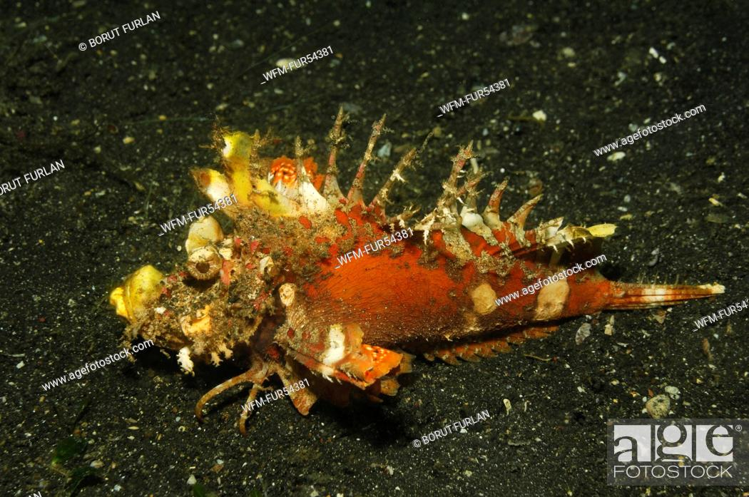 Stock Photo: Spiny Devilfish, Inimicus didactylus, Lembeh Strait, Sulawesi, Indonesia.