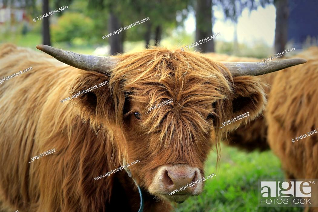 Stock Photo: Close up portrait of a young Highland bull on field among herd of Highland cattle.
