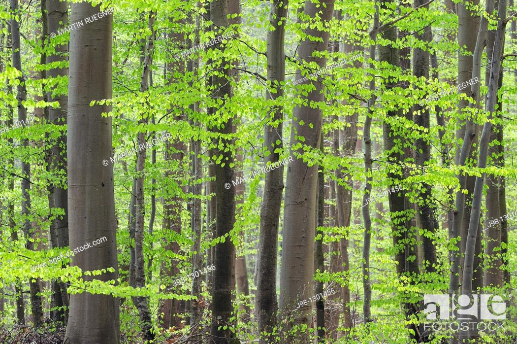 Stock Photo: Spring deciduous forest with new foliage  Bavaria, Germany, Europe.