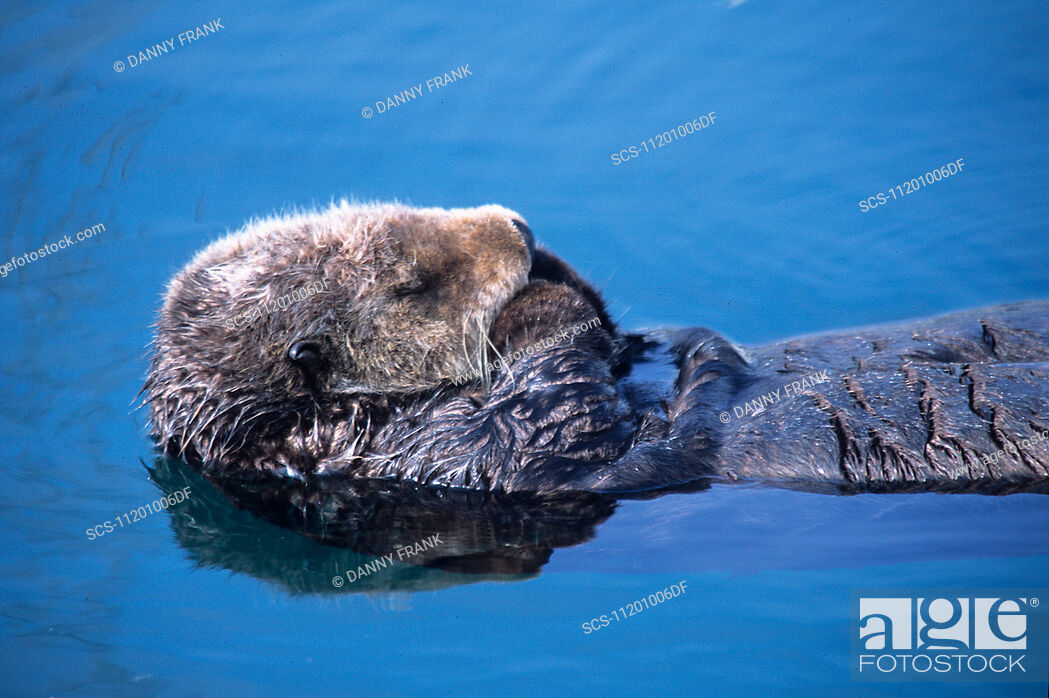 Stock Photo: southern sea otter, enhydra lutris, resting, note fore legs are kept uot of water and crossed to keep warm, monterey, california, usa, pacific ocean.