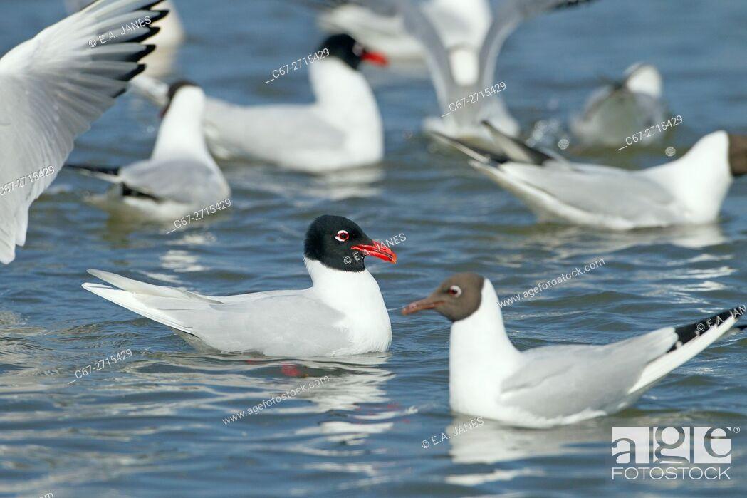 Stock Photo: Mediterranean Gull Larus melanocephalus feeding with Black headed Gulls Spring Norfolk.