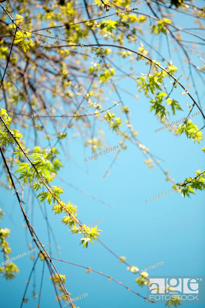 Stock Photo: Branches of a maple in Springtime  Aquitaine  France.