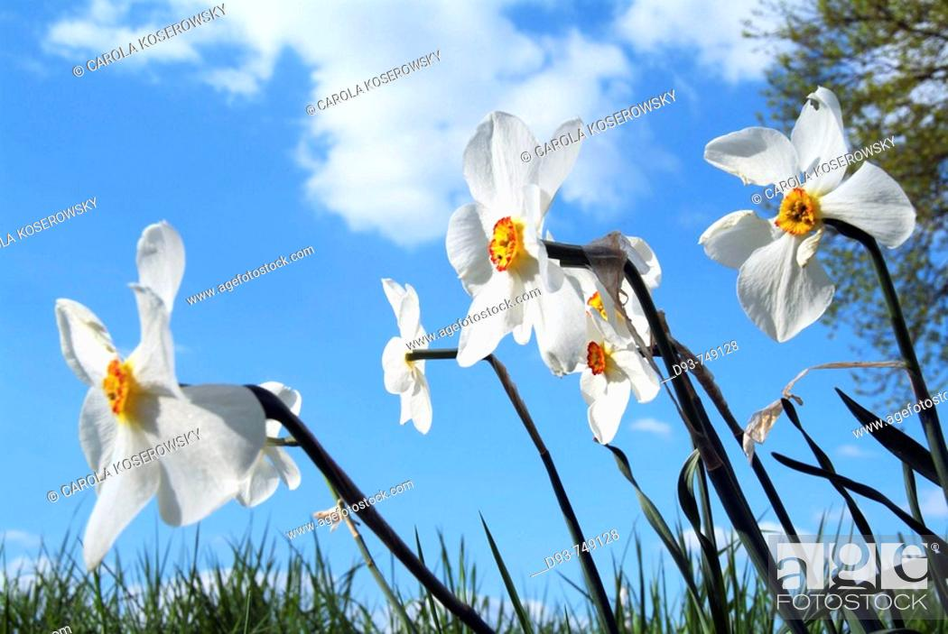 Stock Photo: Daffodils (Narcissus poeticus).