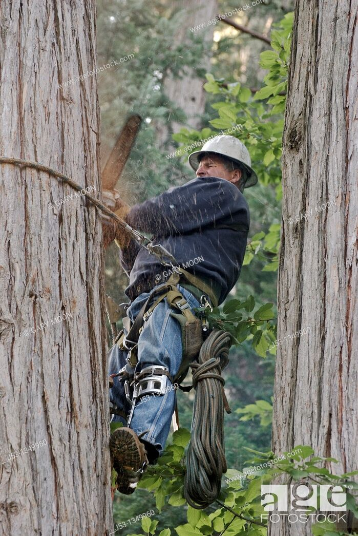 Stock Photo: Logger using climbing equipment to cut tree with chainsaw.