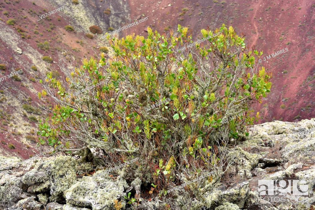 Stock Photo: Vinagrera o calcosa (Rumex lunaria) is a shrub endemic to Canary Islands but introduced in Sardinia and Sicily. This photo was taken in Volcan de La Corona.