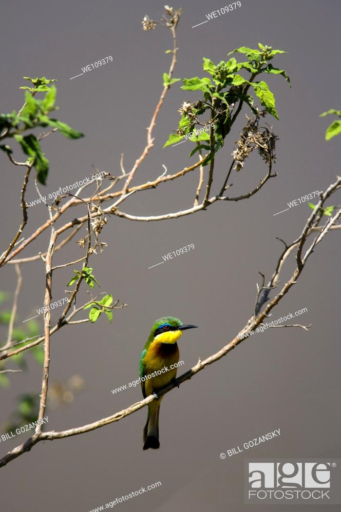 Stock Photo: Little Bee-eater - Masai Mara National Reserve, Kenya.