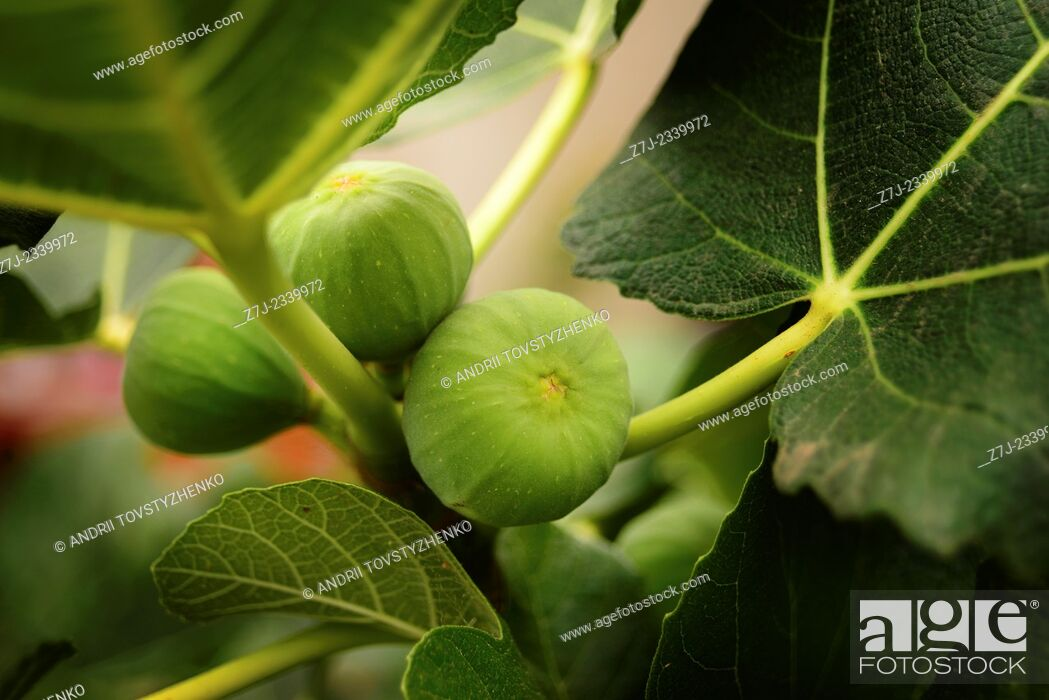 Stock Photo: green figs on a branch.