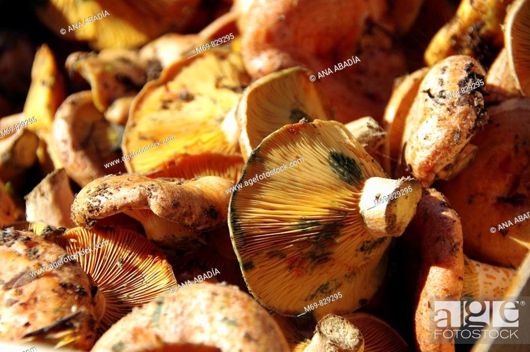 Stock Photo: Saffron milk caps (Lactarius deliciosus).