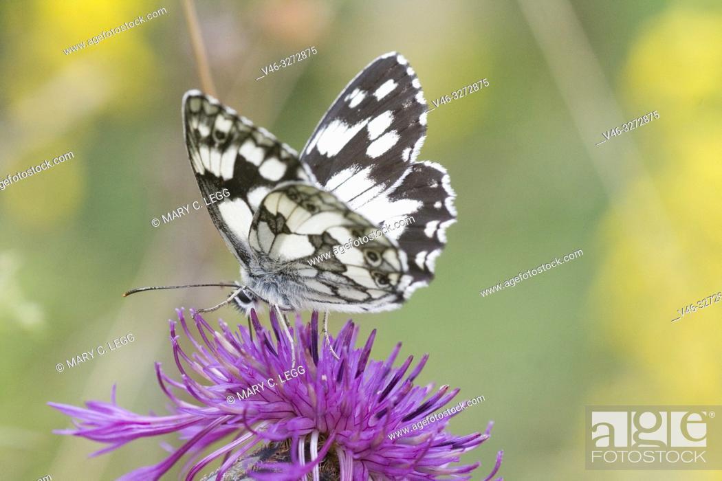 "Stock Photo: Marbled White, Melanargaria galanthea. Large white butterfly with black marbling. Wingspan: 46â. ""56. Host plants: Brachypodium pinnatum, Bromus erectus."