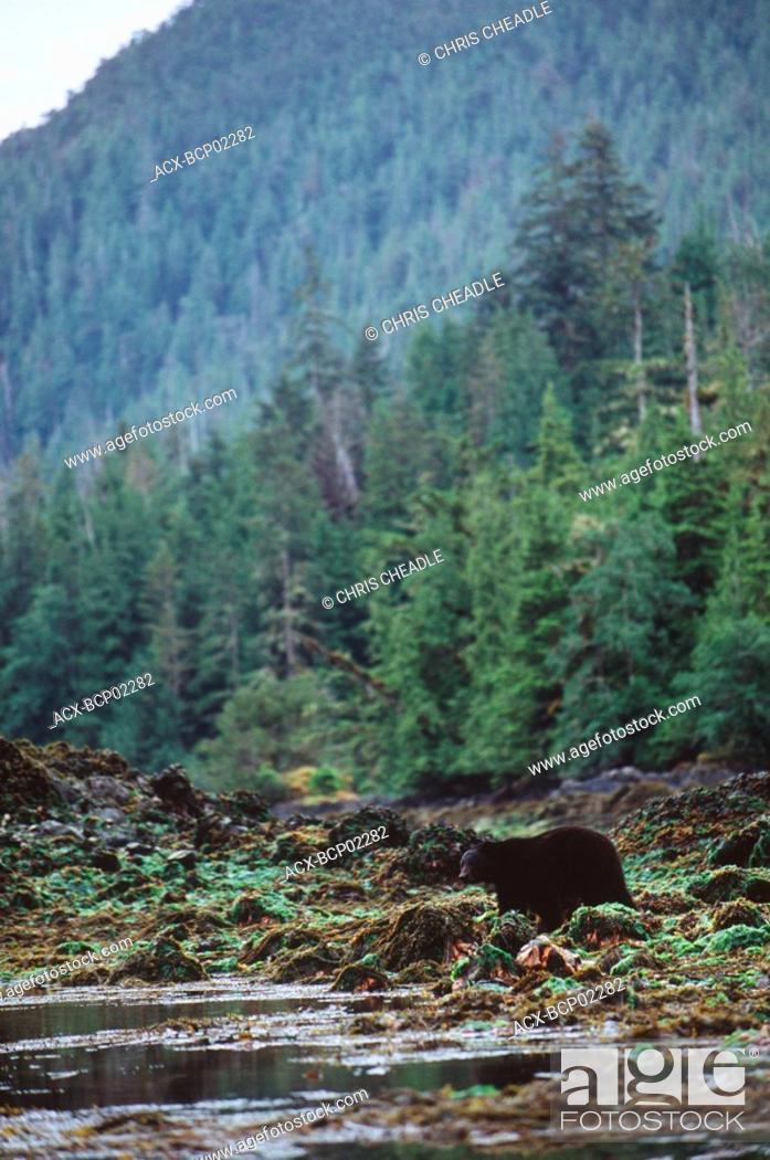 Stock Photo: Haida Gwaii, Burnaby Dolomite Narrows, black bear forages at low tide, British Columbia, Canada.