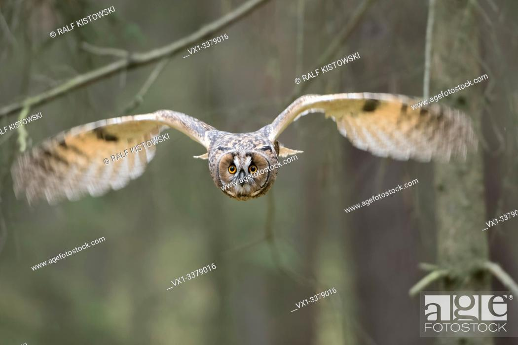 Stock Photo: Indian Eagle-Owl / Rock Eagle-Owl / Bengalenuhu ( Bubo bengalensis ) in flight, dynamic frontal shot, very detailed, bright eyes.
