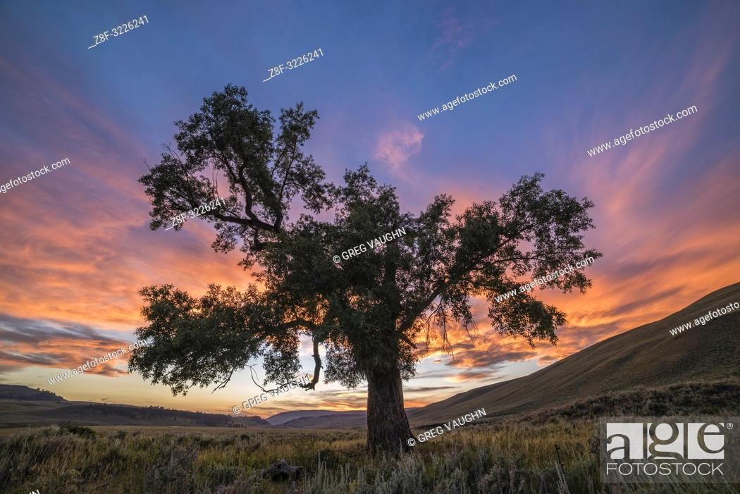 Imagen: Cottonwood Tree at sunset, Lamar Valley, Yellowstone National Park, Wyoming.