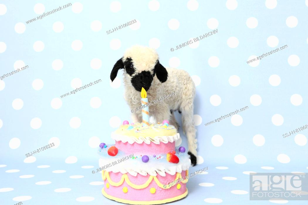 Terrific Valais Blacknose Sheep Lamb 10 Days Old Standing Next To A Birthday Cards Printable Inklcafe Filternl