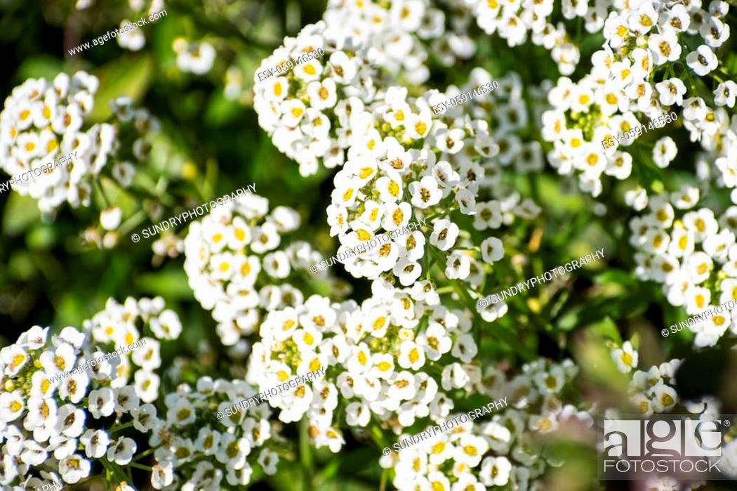 Stock Photo: Close up of Alyssum flowers (Lobularia maritima), California; this flower is native to Europe and naturalized in other parts of the world.