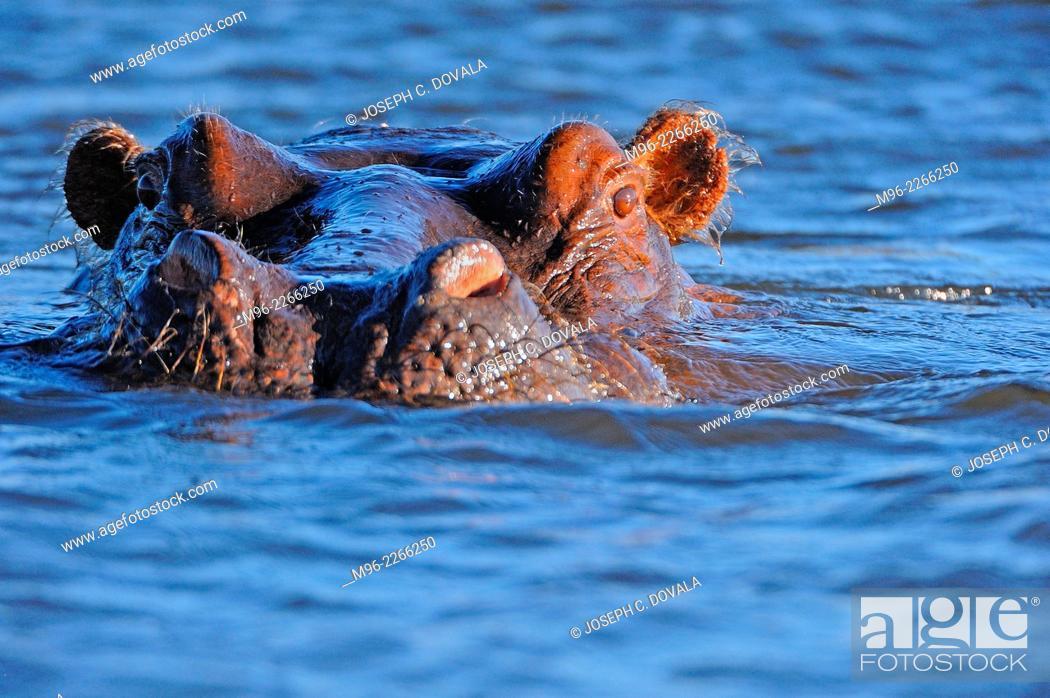 Stock Photo: Hippopotamus swims close to boat, Chobe River, Botswana, Africa.