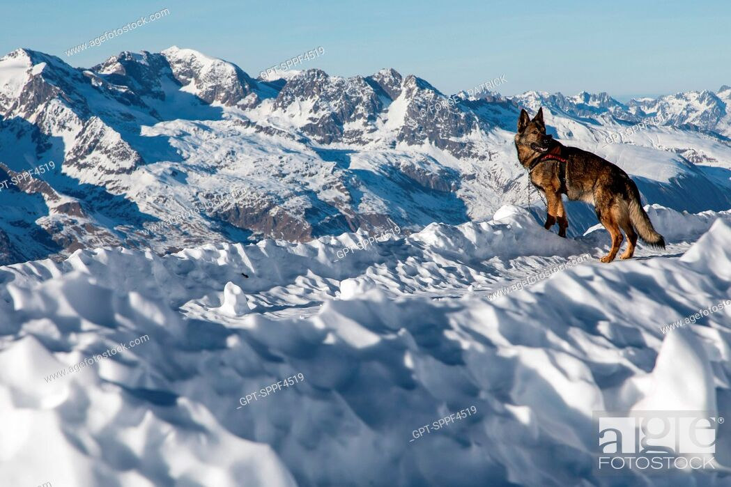 Stock Photo: SOLENE FARRE FROM LA PLAGNE AND HER GERMAN SHEPHERD ON A LEASH, REPORTING ON AVALANCHE DOG HANDLERS, TRAINING ORGANIZED BY THE ANENA WITH THE APPROVAL OF THE.
