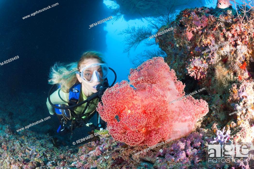 Stock Photo: Red Soft Coral and Diver, Dendronephthya mucronata, Maya Thila, North Ari Atoll, Maldives.