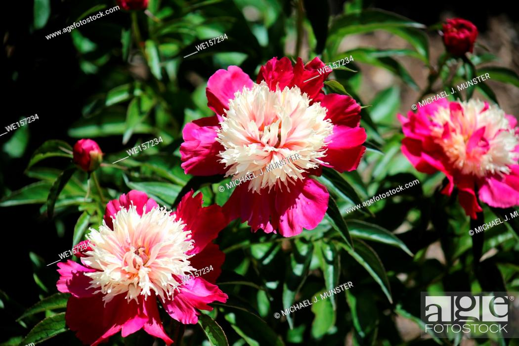 Imagen: Red and pink peony at Springfield Botanical Gardens in Springfield, Missouri.