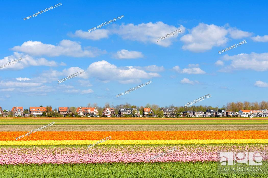 Stock Photo: View over colorful tulips fields in spring, Hillegom, South Holland, Netherlands.