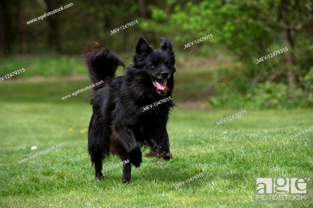 Stock Photo: DOG. Pyrenean sheepdog running in a garden.
