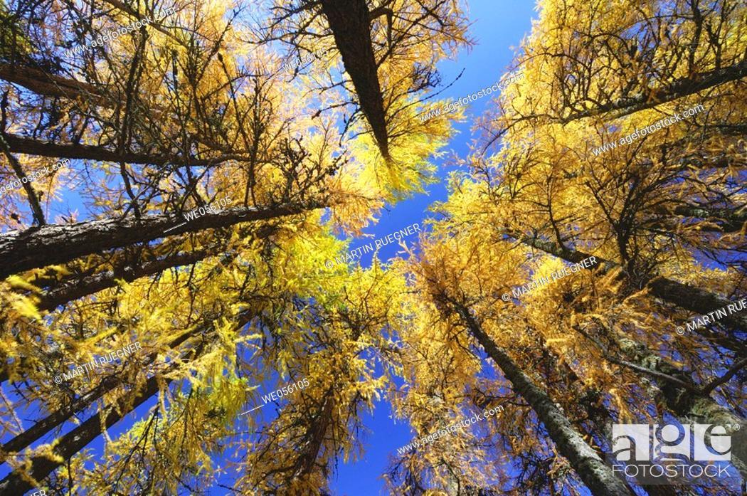 Stock Photo: European Larch tree (Larix europaea) in autumn ground view. Engadine, Grisons, Switzerland, Europe.