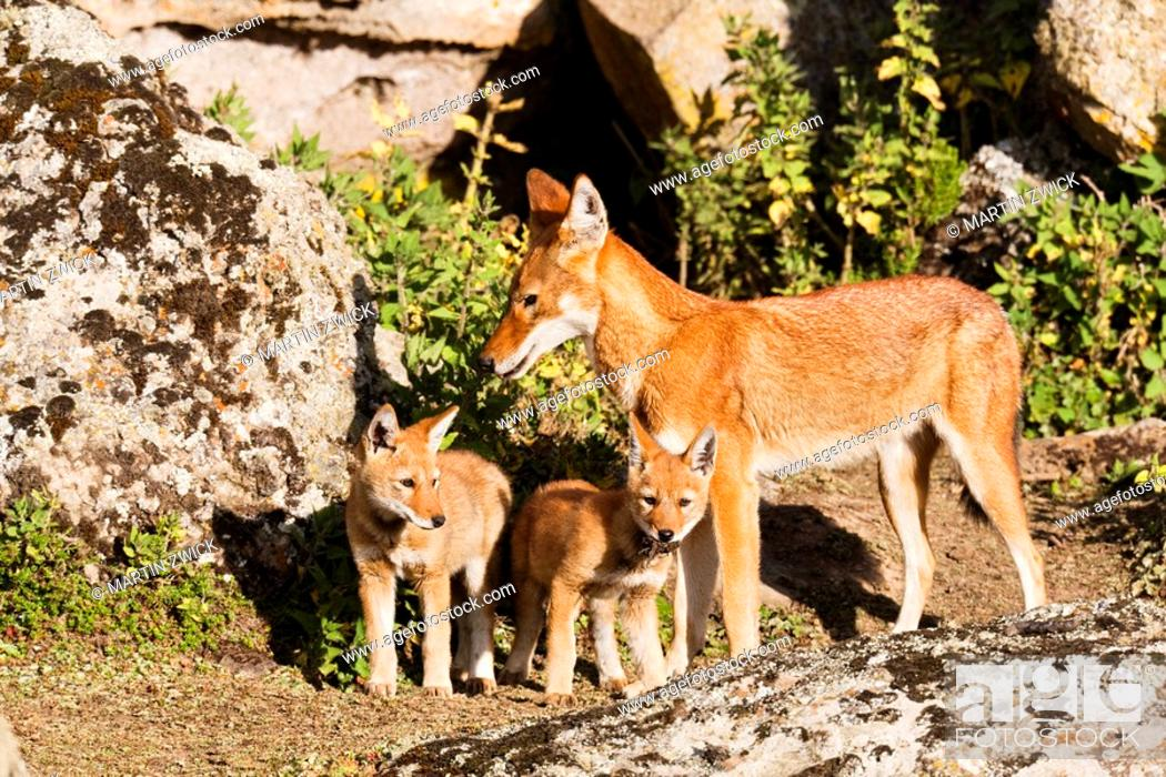 Stock Photo: Ethiopian Wolf Canis simensis mother bringing prey, a rodent, to the begging and eating pups, litter, near their den in the Bale Mountains National Park  The.