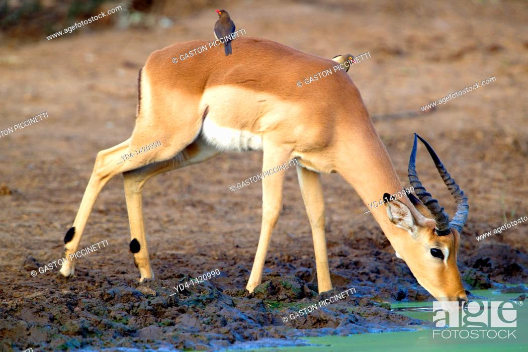 Imagen: Redbilled oxpeckers Buphagus erythrorhynchus, on the Impala Aepyceros melampus, drinking water, Kruger National Park, South Africa.