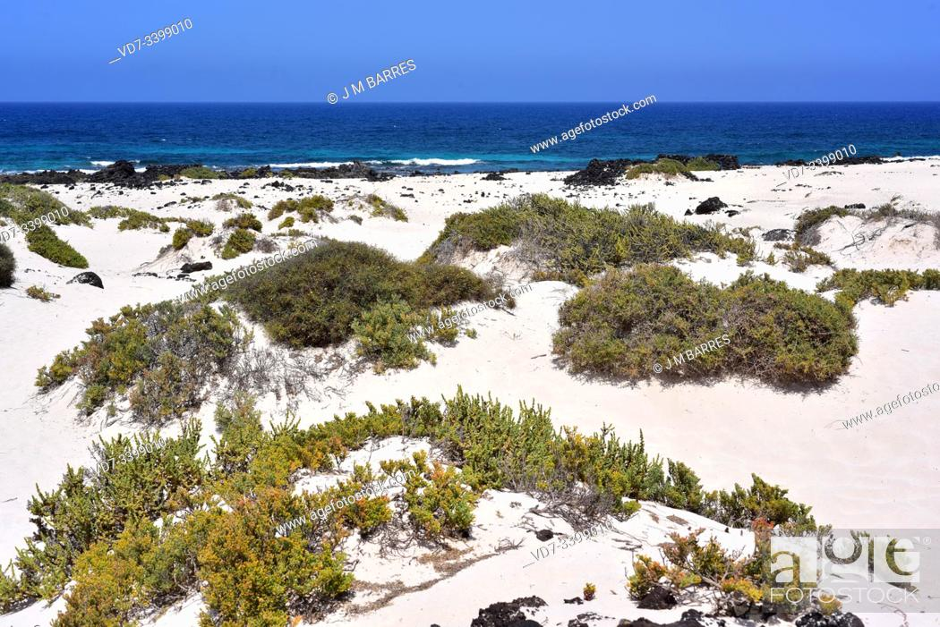 Stock Photo: Traganum moquinii is an halophyte shrub native to northern Africa and Canary Islands. In Canary Islands is an endangered protected species.
