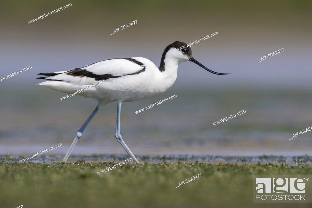 Stock Photo: Pied Avocet (Recurvirostra avosetta), adult walking in a swamp.