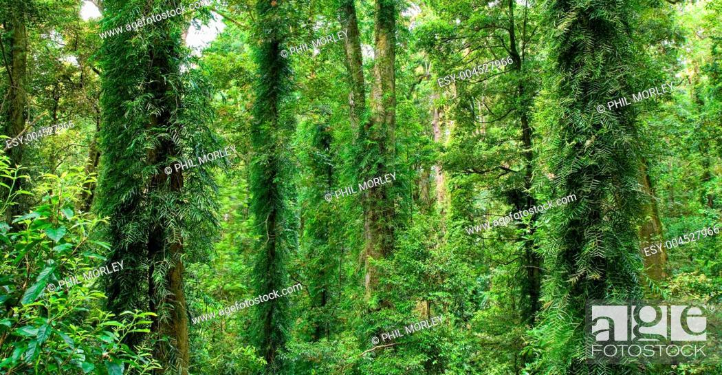 Stock Photo: beautiful dorrigo world heritage rainforest.