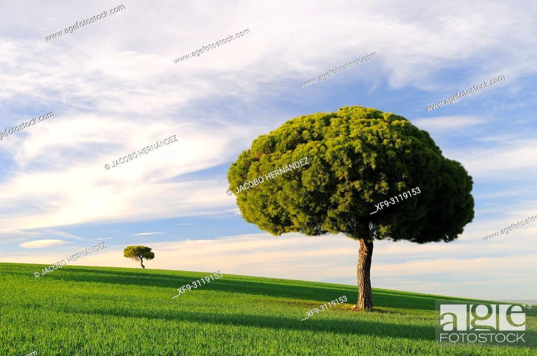 Stock Photo: Stone pine (Pinus pinea). Villarrín de Campos. Tierra de Campos region. Zamora province. Castilla y León. Spain.