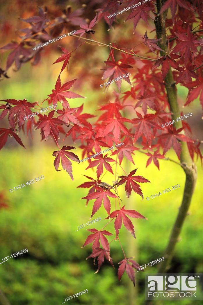 Stock Photo: Maples at Shaoshang Mao Zedong Memorial Garden, Hunan.