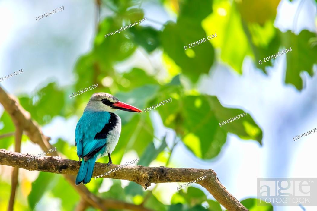Stock Photo: Woodland kingfisher perching on branch, Halcyon senegalensis, Wondo Genet, Ethiopia Africa safari wildlife.