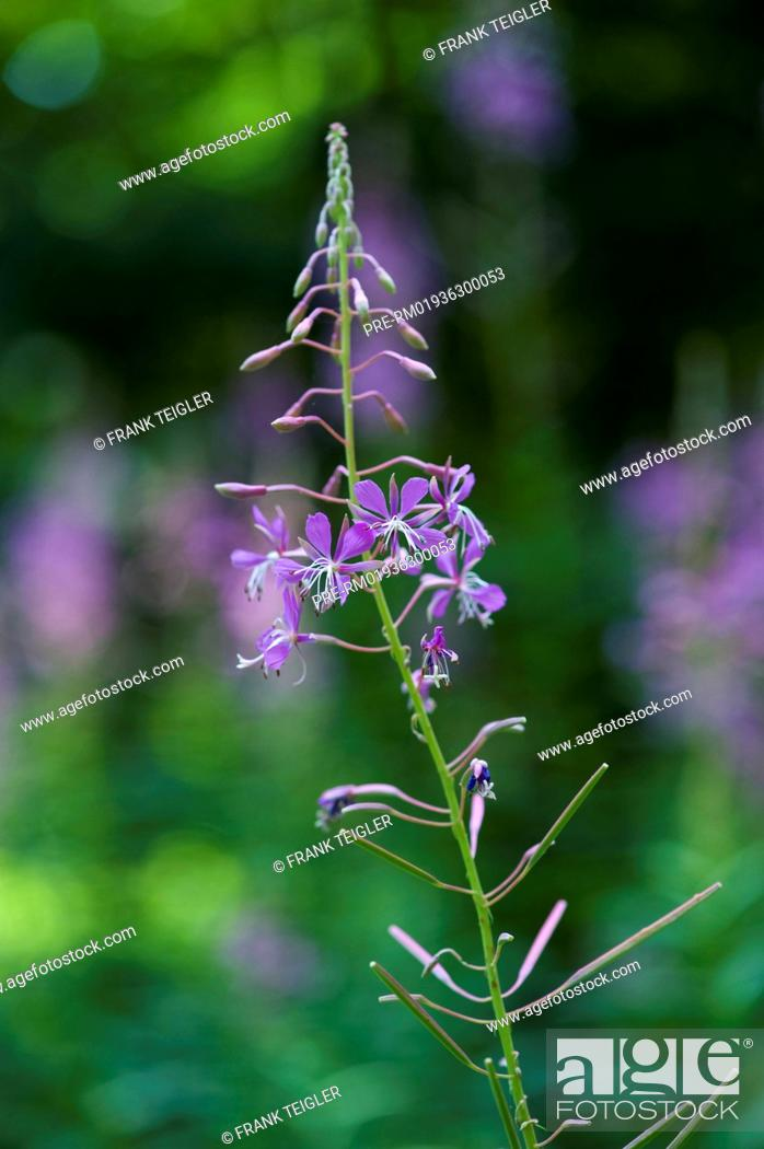 Stock Photo: Rosebay Willowherb, Epilobium angustifolium / Schmalblättriges Weidenröschen, Epilobium angustifolium.